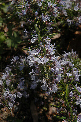 Rosemary officinale Mc'Connell's Blue trailing culinary herb 1litre