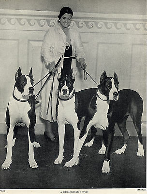 Great Dane Lady And Unusual Colour Dogs Old Original 1934 Dog Print