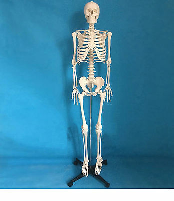 Good Quality Life Size Human Skeleton Model on Stand