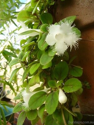 1X Lace Flower Vine plant / cute and hardy plant 蕾丝蔓