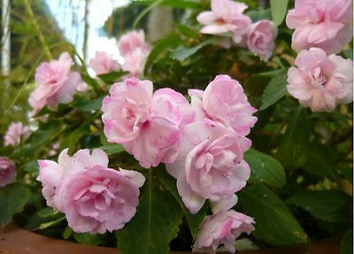 Impatiens Double Flower非洲凤仙花 (FREE POSTAGE)/1 FLOWERING plant