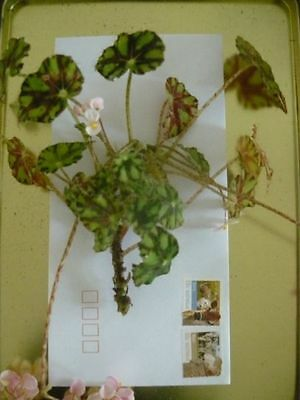 1 MINI BEGONIA unrooted cutting~Free Postage