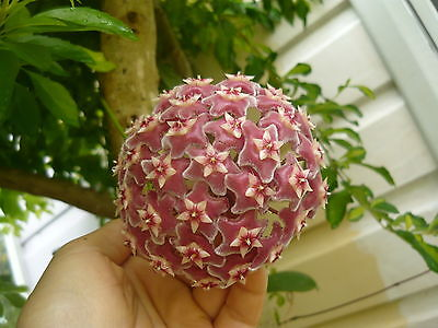 """1 HOYA WAX FLOWER rooted CUTTING PLANT/ RED COLOUR /nice-scent/'Royal Hawaiian"""""""