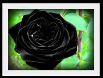 Rare Black Climbing Rose! 15 Seeds! Comb. S/H! SEE OUR STORE!