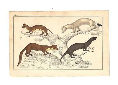 1866 GOLDSMITH Antique Hand Coloured Print ~ WEASELS Stoats FERRETS # 1