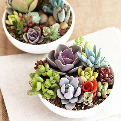 1 Pack  Mixed Succulents Seeds Rare Succulent Potted Plant Home Decor 100 Seeds