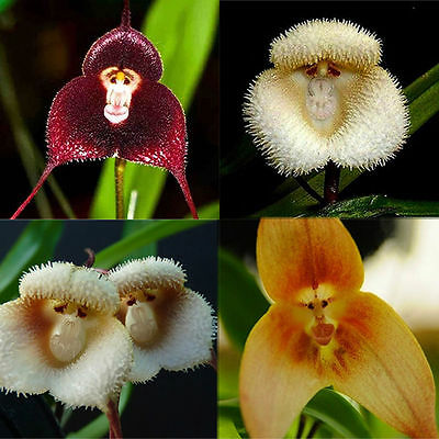 10 Pcs New Orchid Seeds Beautiful Plant Flower Home Garden Rare Monkey Face Hot