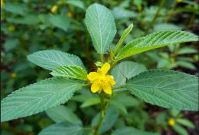 Egyptian Spinach / Corchorus Olitorius / Mulukhiyah - $4 for 30 seeds