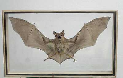 REAL HAIRLESS BAT Insect Bug Specimens Taxidermy Display Double Glass Wood Frame