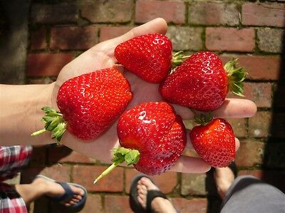 STRAWBERRY PLANTS - $7 for 2 healthy plants / free postage
