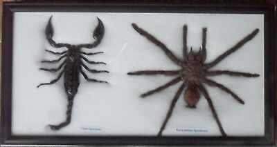 Real Giant Scorpion Spider Tarantula Preserved Taxidermy Insect Bug Wood Framed