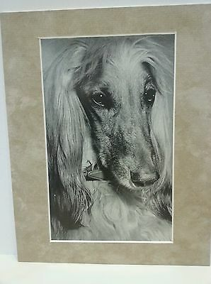 Vintage Afghan Hound 8 x 10 matted Photo