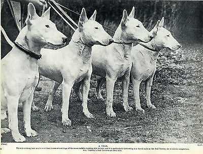 Mrs Yearsley's Team Of Bull Terrier Original Dog Print Page From 1934