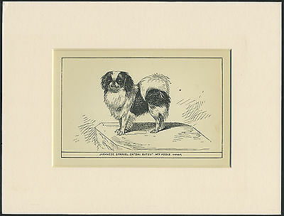 Japanese Chin Rare Antique 1900 Engraving Named Dog Print Ready Mounted
