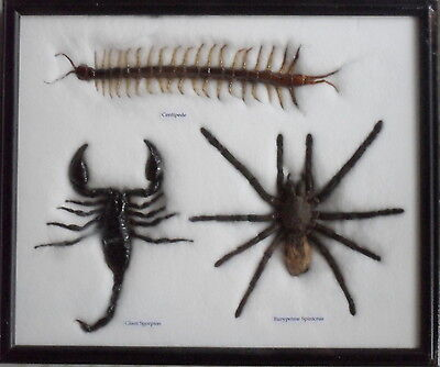 Real Scorpion Spider Centipede Entomology Insect Taxidermy Collection Wood Frame