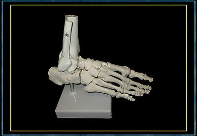@Professional Full Size Human Foot Skeleton Model@High Quality@UK Seller@