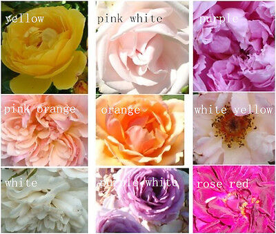 High Survival Rose Seeds 60 PCS Flower Seed Home Garden Plants Free Shipping New
