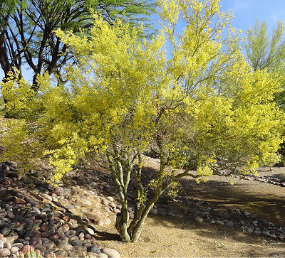Blue Palo Verde Tree- Parkinsonia Floridum 50 Seeds Best Buy Free Shipping