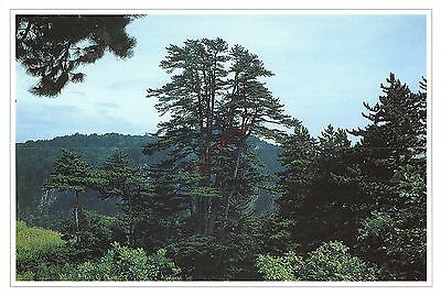 China D Postcard Chinese Pine In The Mount Lingkong  038