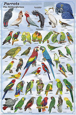 Parrots Laminated Bird Educational Science Reference Class Chart Poster 24x36