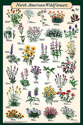 North American Wildflowers Educational Science Reference Chart Poster 24x36