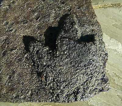 ULTRA RARE DINOSAUR FOOT PRINT FOSSIL MASSIVE 14kg 40cm Isle of Wight Atherfield