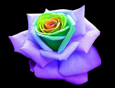 50 Semi Rosa Rainbow Rose - Seeds
