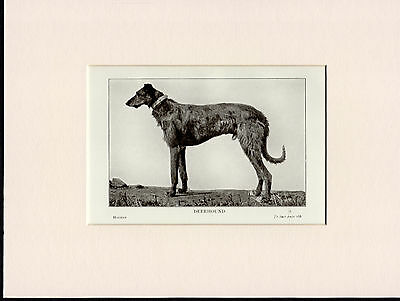 Scottish Deerhound Old 1913 Bookplate Dog Print Mounted Ready To Frame