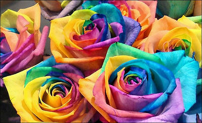 10 semi ROSA RAINBOW - rarissima seeds