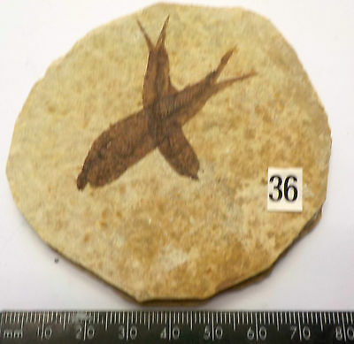 VISIBLE SCALES KNIGHTIA ALTA FOSSIL FISH WYOMING 75mm GIFT fc36