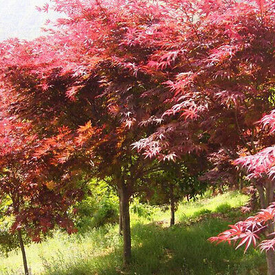 20pcs Hot Japanese Maple Tree Bonsai Seeds Acer Palmatum Atropurpureum Plant EF