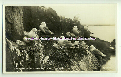 an0190 - Kittiwakes Nesting on Cliffs of one of the Farne Islands  - postcard