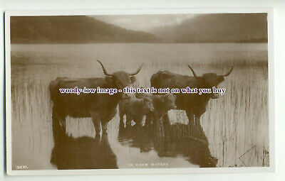"""an0201 - Long Horned Cattle and Calfs in Lake, """" In Calm Waters"""" - Postcard"""