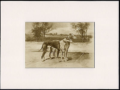 Whippet Rare Antique 1898 Dog Print By Arthur Wardle Ready Mounted