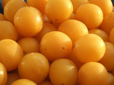 Fresh cuttings of mirabelle cherry plum tree. Mirabelles. Free shipping.