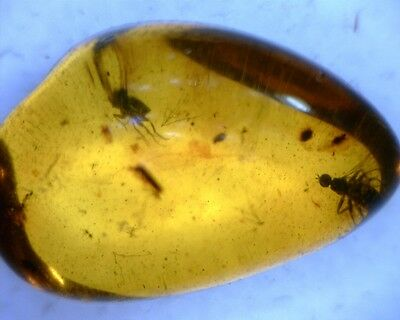 Baltic Amber Fossil 2 Dolichopodidae Fly Insect Inclusion 0.71g
