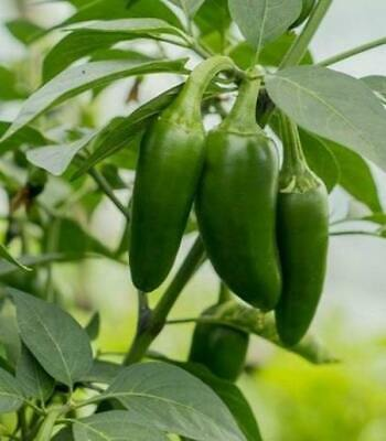 25+ Organic Hot Jalapeno, Early Premium Pepper Seeds-D 75