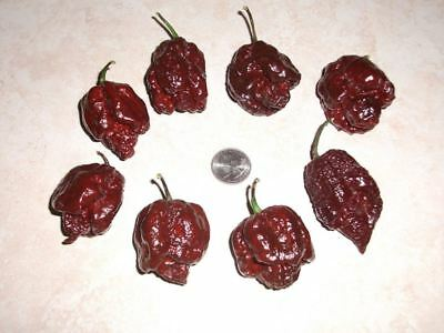 25+ Rare 7 Pot Douglah Chocolate Premium Hot Organic Pepper Seeds-D 9