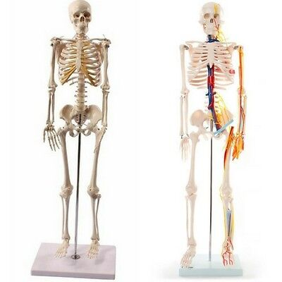 Skeleton Human Model Anatomical Anatomy Medical Learning Stand Teaching School
