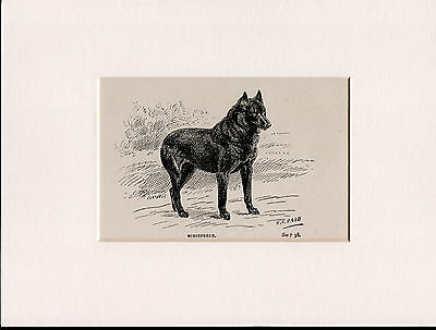 Schipperke Old Antique Dog Bookplate Print Ready Mounted