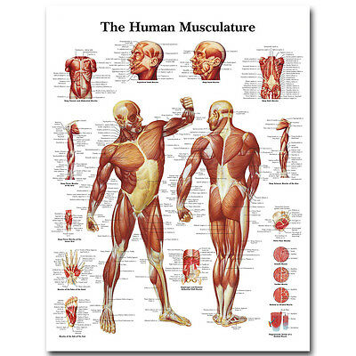 """Human Anatomy Muscles System Silk Poster 13x18"""" 32x43"""" Medical Education Picture"""