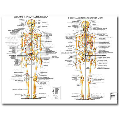 "Skeletal System Human Anatomy Silk Poster 13x18 32x43"" Medical Education Picture"