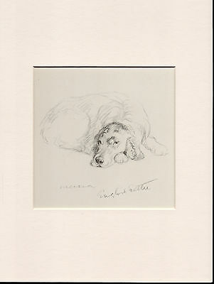 English Setter Old Vintage 1930's Ready Mounted Lucy Dawson Dog Art Print