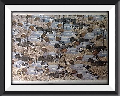 Wigeon Ducks Vintage Print By Tunnicliffe Beautiful Birds Can Be Framed - P2