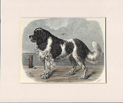 Old Antique 1890 Newfoundland Coloured Engraving Dog Print Ready Mounted