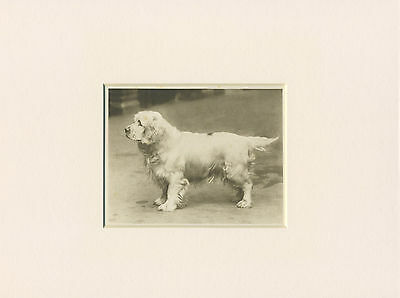 Clumber Spaniel Original Vintage 1931 Dog Print Mounted Ready To Frame