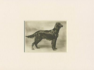 Irish Setter Original Vintage 1931 Dog Print Mounted Ready To Frame