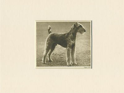 Airedale Terrier Original Vintage 1931 Dog Print Mounted Ready To Frame