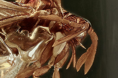 PERFECT ! TWISTED-WINGED PARASITE Strepsiptera BALTIC AMBER + HQ Picture