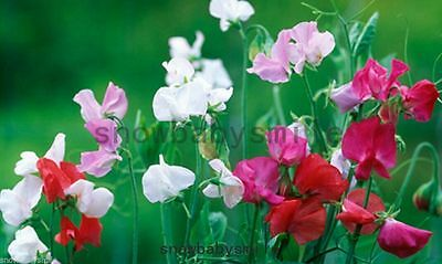 20 Sweet Pea Seeds Lathyrus Odoratus Hardy Vine Climber Flower Mixed Colors